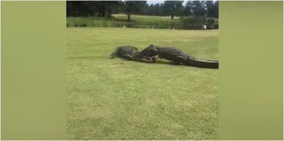 Šokirani golferi snimili brutalnu borbu aligatora