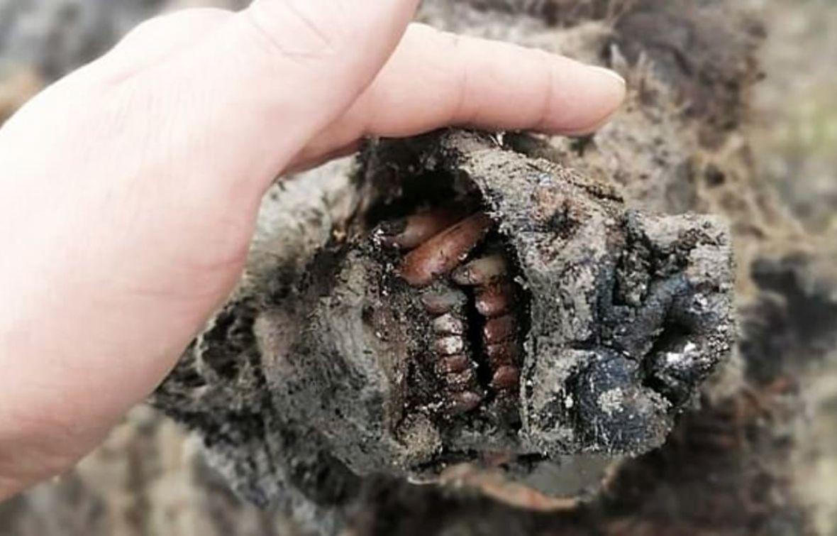 Nevjerovatno otkriće: Pronađeni ostaci medvjeda starog do 39.000 godina