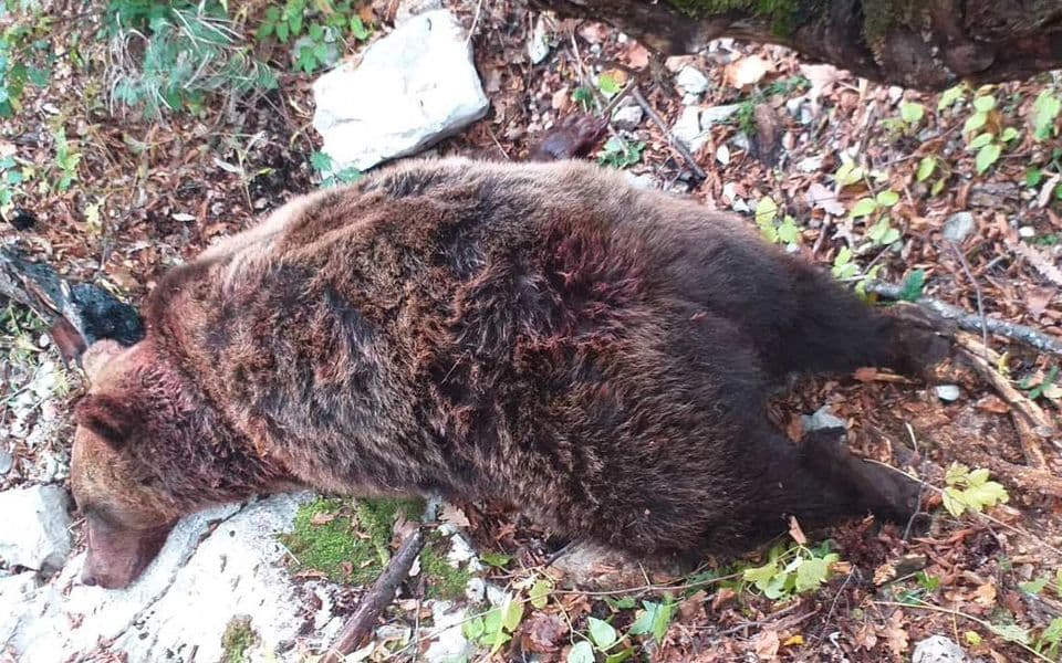 Zašto su lovci ubili medvjedicu kod Bioča?