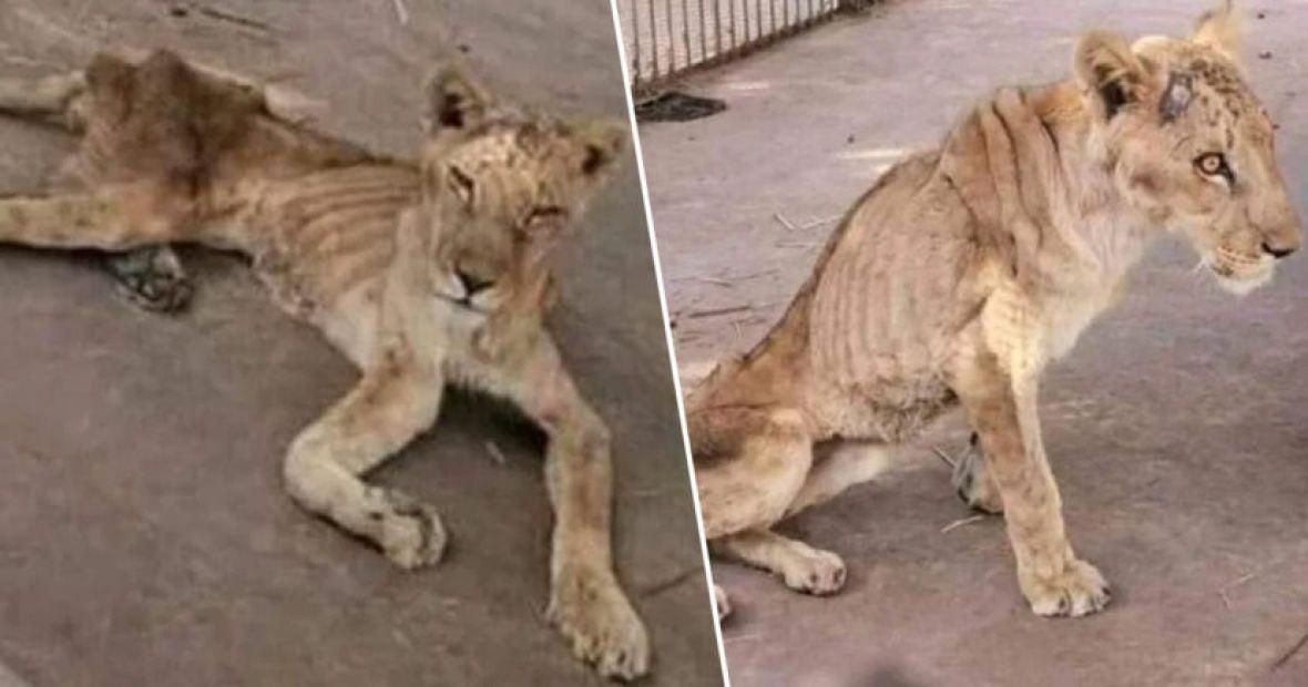Prizori iz Sudana rasplakali svijet: Zatvoreni i bolesni lavovi umiru od gladi