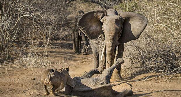 Nevjerovatan trenutak: Hrabra slonica spašava svoje mladunče iz kandži lavice