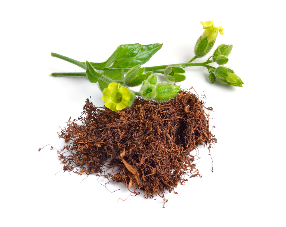 Ova biljka je na jako lošem glasu, a zapravo bi u sebi mogla da krije lijek za brojne bolesti
