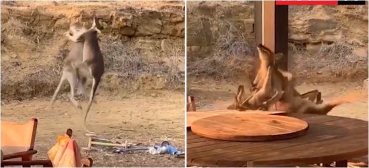 Žestok obračun dva kengura: Borba za dominaciju ili ženku?