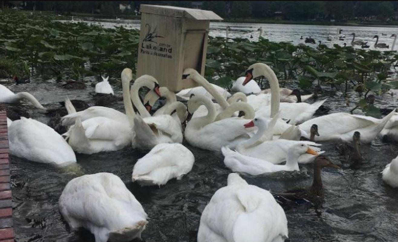 Neobična rasprodaja u SAD: Vlast pozvala građane da kupe - labudove