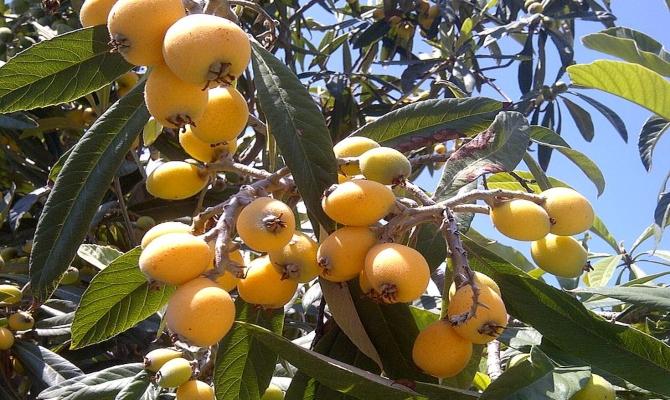 Mušmula – voće mističnih moći
