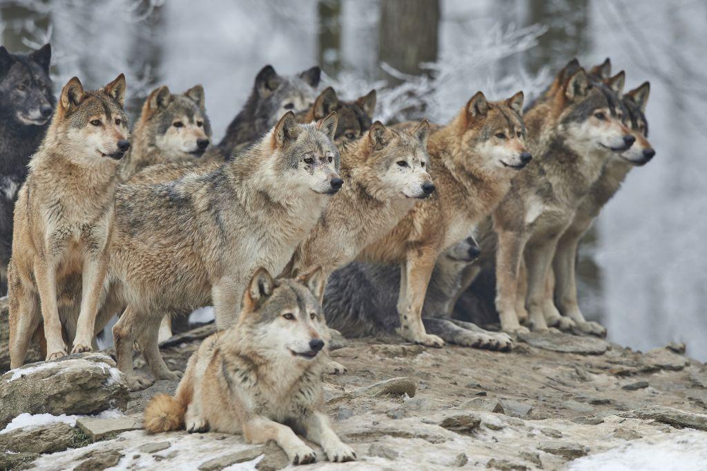 Upoznajte čovjeka kojeg su odgajili vukovi