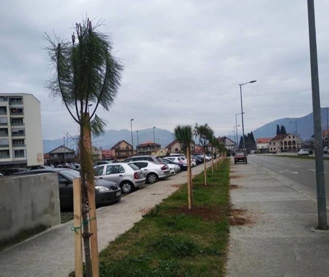 Posađen drvored pinjola u Ulici Veljka Vlahovića