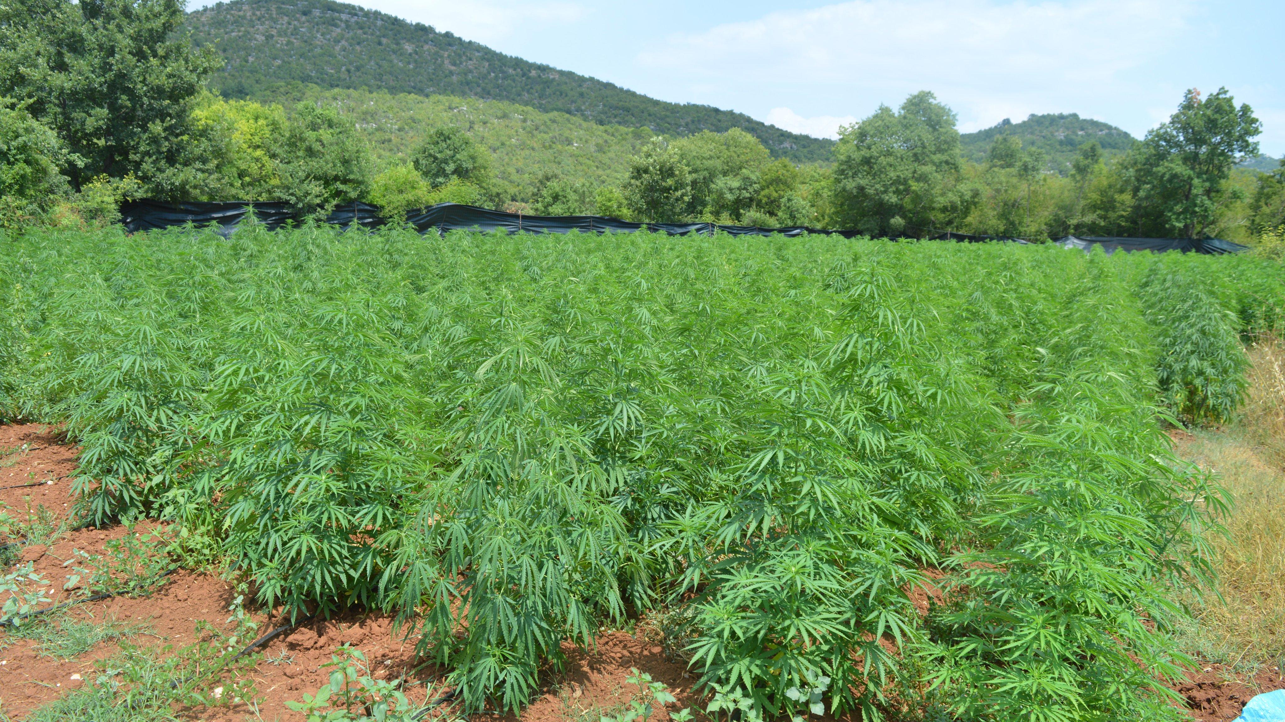 UP: Otkriveno sedam plantaža marihuane; pronađeno skoro 3.700 stabljika!
