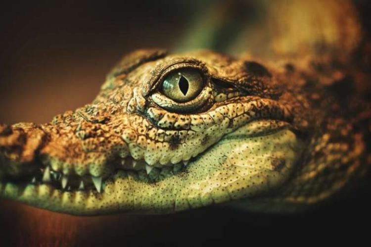 Ubijen krokodil u zoo vrtu u Cirihu, napao ženu koja se brinula o njemu