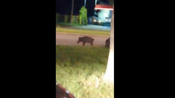 Divlje svinje prošetale centrom Novog Beograda